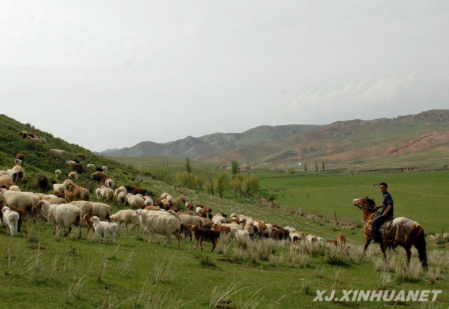 新疆尼勒克县蒙古族牧民才仁赶着他的羊群在春秋牧场放牧(5月3日摄).
