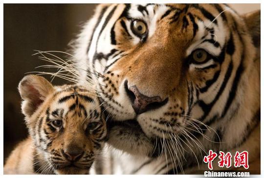 与中国横道河子猫科动物