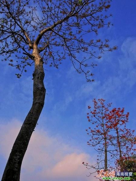 三等奖:傲立的梧桐树(刘世平)
