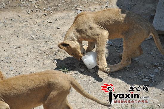 大蟒蛇吃吃老虎的图片