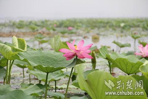 汈汊湖盛开的莲花