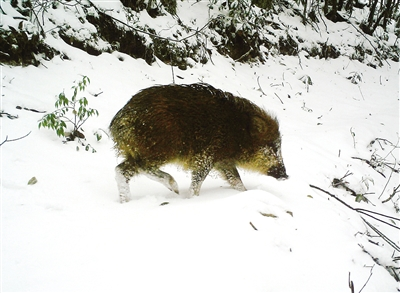 其他的珍稀动物影像资料同样大量面世