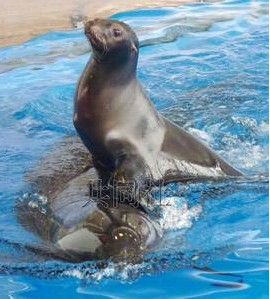 """日本水族馆海豚驮海狮上演""""爱之约会"""""""