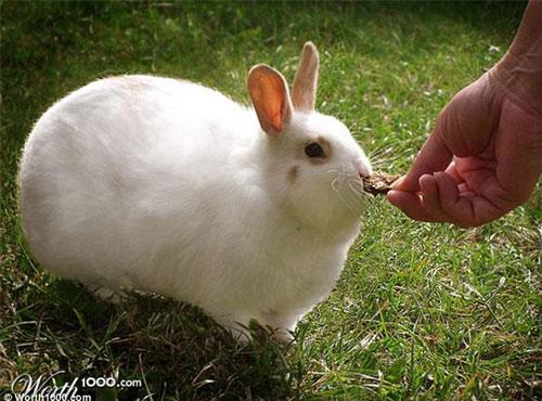壁纸 动物 兔子 500_370