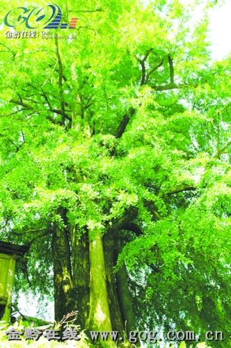 6米,高30米左右,银杏树枝繁叶茂,青葱翠绿,树上结满了灰青的果实,树枝