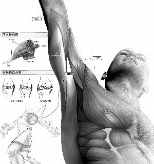 皮肤,皮下组织,肌肉,肌腱