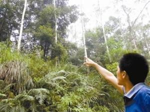 西江林业局的林场中桉树和其它植物和谐共处。