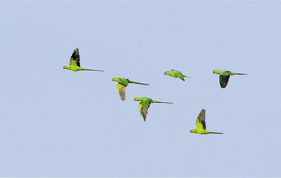 飞翔鹦鹉卡通图片