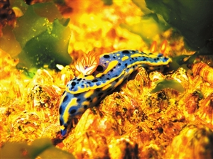 沙海底,海兔用身体上的花冠和艳丽的警戒色阻