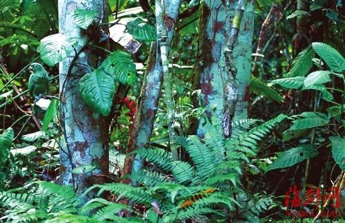 中美洲热带雨林,一只蓝冠鹦鹉