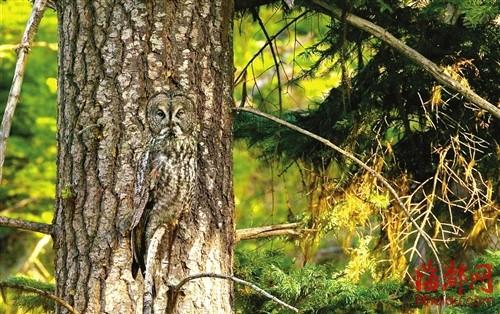 """美国俄勒冈州,""""贴""""在树干上的大灰猫头鹰"""