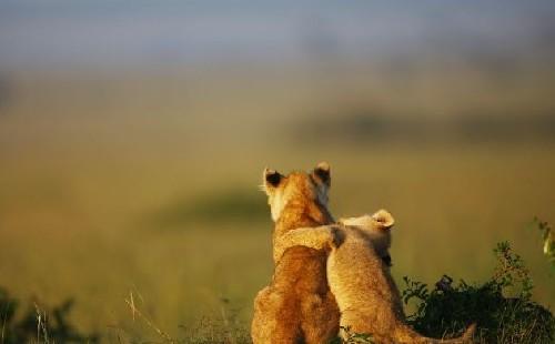 主人公乃一对可爱的小狮子