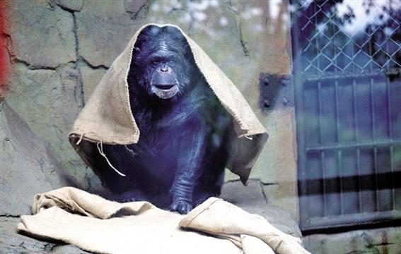 麻袋当衣 温州网讯 近日,气温下降,人们纷纷穿上冬衣御寒,动物们如何御寒?昨天上午,记者昨天来到景山动物园,发现这里早早开启了暖气,让怕冷的动物取暖。而各种动物也施展各自御寒本领,有的抱团取暖,有的钻入洞穴……当然,也有动物压根不怕冷,比如金丝猴、海豹等,越冷越乐呵。 昨日,温州市区最低气温低至4。记者发现,平时活蹦乱跳的动物们到了冬天就慢了半拍,集体发起呆。猴山上,原来上蹿下跳的猴子们,三五成群窝在假山上挤挤更暖和;灵长馆内,猩猩们拿着麻袋当棉被,裹在身上一