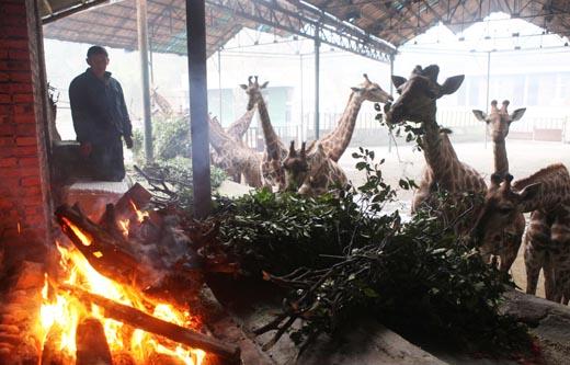 重庆野生动物世界准备了充足的过冬食物