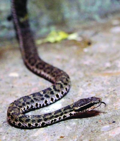 红山动物园获悉,这里的两栖爬行馆里生活着20种蛇类