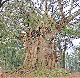天府早报记者昨日调查得知,成都的名木古树中,丹景山的汉柏树龄最长