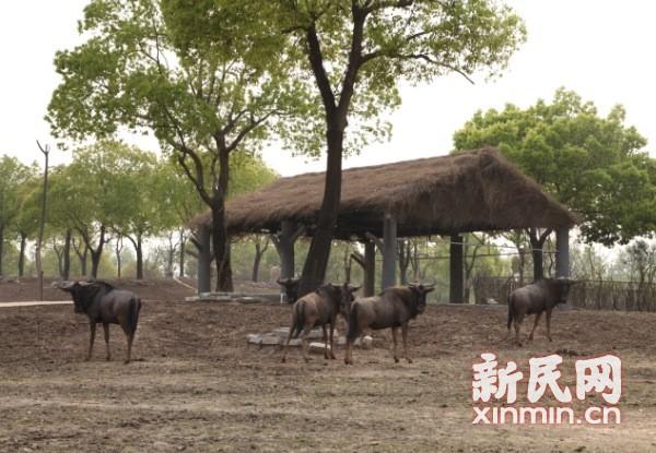 图说:每年东非大迁徙的主角角马.上海野生动物园供图