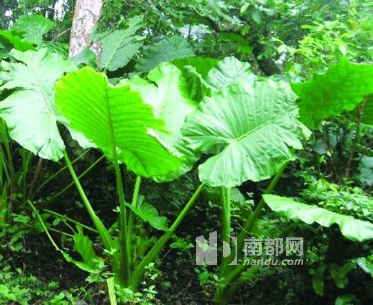 滴水观音又名海芋、野芋头等,它的茎和叶内的
