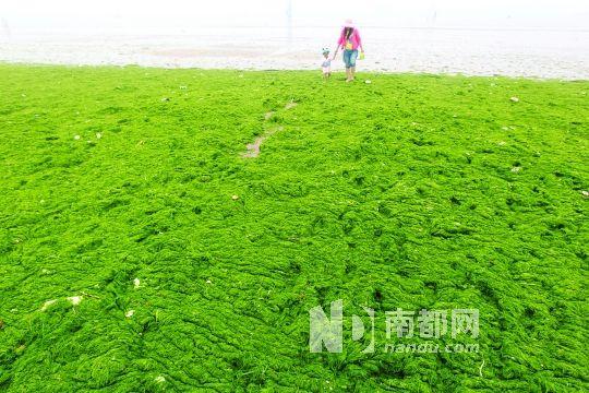 6月16日,大量浒苔先锋登陆山东青岛第三海水浴场,绿茫茫一片.