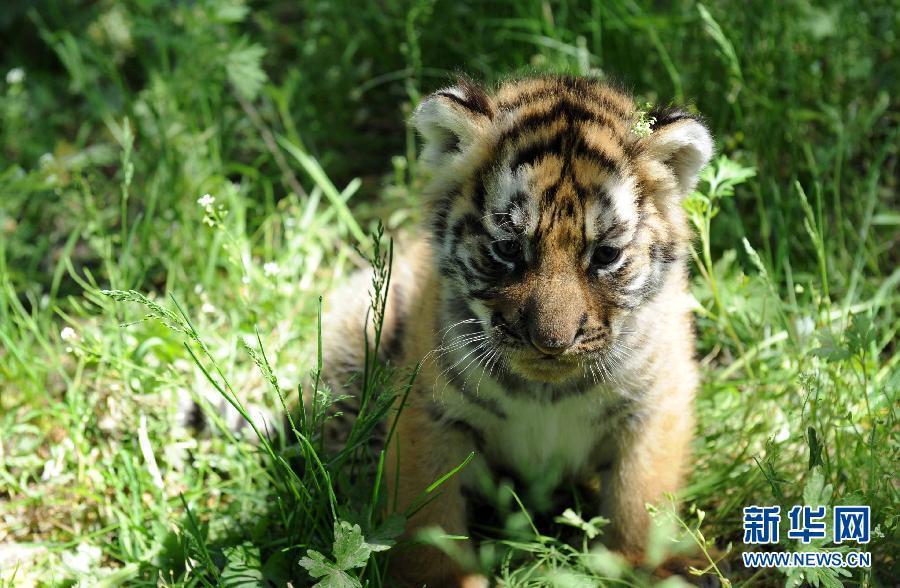 2013年出生的一只东北虎宝宝在蹲坐草地上(6月2日摄).