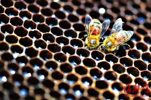两只蜜蜂正在蜂巢吐蜜,神奇的六边形蜂巢是仿生学的研究对象