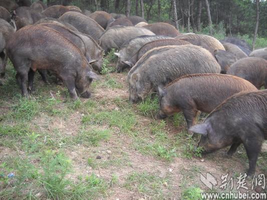 猪天天像开动物运动会(图)