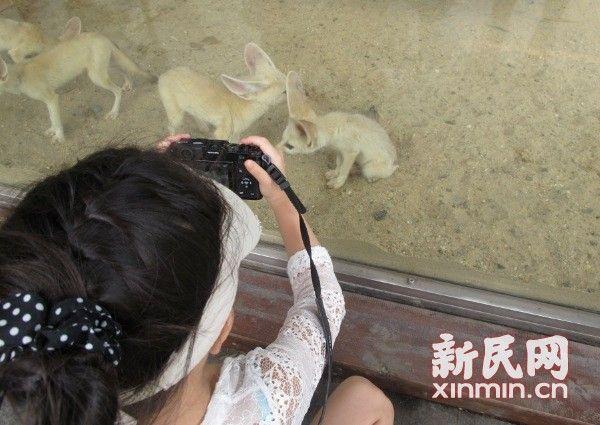 耳廓狐入住野生动物园精灵大耳惹人爱情趣用品必备看片图片