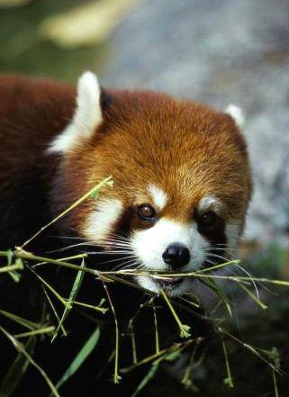 尼泊尔展开对小熊猫的保护及统计工作