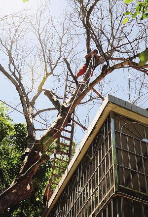 30米高枯树威胁住户