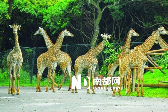 刚刚到达深圳野生动物园的南非长颈鹿.资料图片