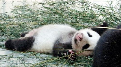 但都名为熊猫,都是很可爱的动物
