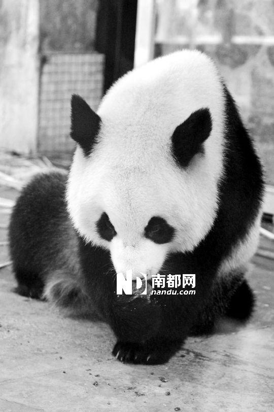 广州动物园用玉米粉黄豆粉等为大熊猫制作月饼