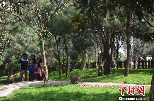 高清图—云南野生动物园中秋节浣熊疑被游客偷走