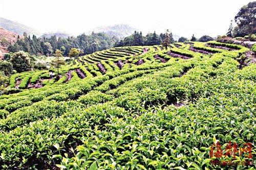 茶树一排排扎根在岩石之上,整齐地在山坡蔓延开来