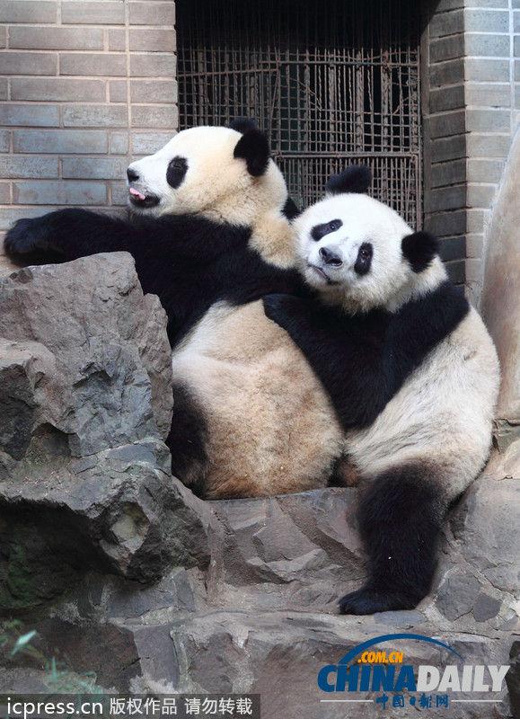 """杭州动物园内,龙凤胎大熊猫""""成大""""和""""成小""""在阳光下嬉戏,打闹,睡觉,不"""
