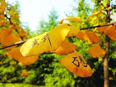 游客在银杏树叶上留名. 网友高先生 摄图片