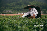 现在由于家里老人年纪大了,孩子还在上学,所以老罗家现在只种了6、7亩茶叶。但每到采摘的季节,老罗还是自己下田采茶。