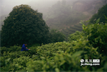 而离梁师傅现在种茶不远的地方,仍然是当年梁氏始祖种植第一片狗牯脑茶树的地点。