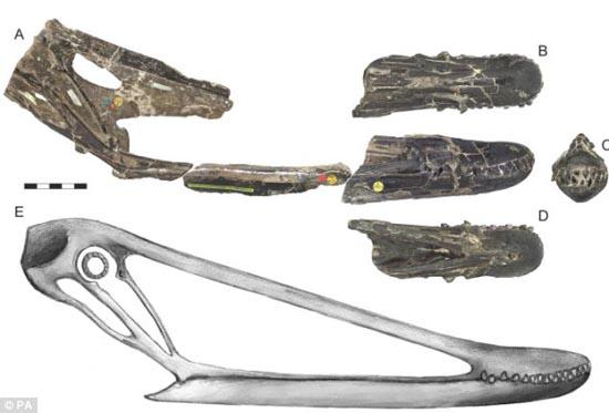 """他补充说:""""这个动物有细长的颧骨,这样可以是翼龙进食的时候会沿着下颚较弱的地区进食,这样将不会有被尸体弄断骨头的危险。"""" 威顿博士研究了翼龙头骨化石他说:""""翼龙是一个特殊的生物,拥有不同寻常的结构,牙齿与如同剃刀的嘴完美结合,这样的因素证明翼龙如同秃鹰一样都是清道夫。不过我们现在的研究还不严谨,由于头骨并不完整,我们只能做出一些模拟,不过现在我们至少可以发现我们之前得错误,它们的嘴远比我们认识的要长很多。身体比例对它们很重要,这关系到它们的"""" 科学家认为翼"""