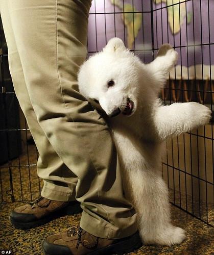 """小北极熊""""卢娜""""在纽约水牛城动物园亮相"""
