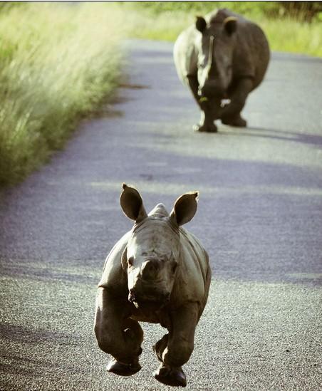 非洲可爱的小犀牛