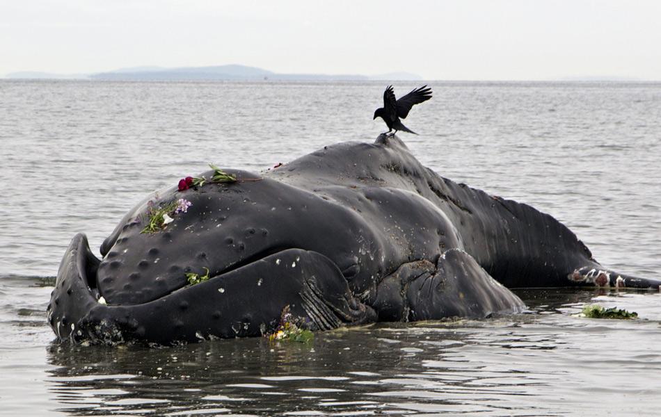 毛泽东纪念堂视频_巨型座头鲸在加拿大海滩搁浅死亡_资讯频道_凤凰网