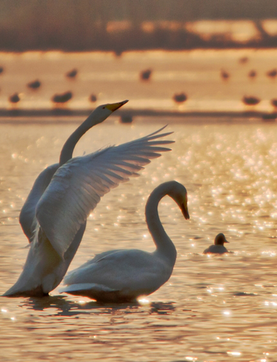 绝胜天鹅满湖滨