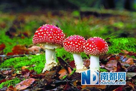 吉林常见的野生无毒蘑菇_野生蘑菇都别碰 暂无简易识别法 呼吸 毒蘑菇_凤凰资讯