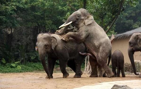 人与动物做爱1715ia{0_目瞪口呆!发情大象逞强与犀牛交配(组图)_科技频道_凤凰网