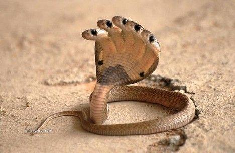 """世界上最大五头蛇_印度神庙惊现""""五头蛇"""" 形似手掌(组图) - 凤凰创新"""
