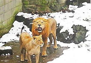 非洲性爱狠狠_5日下午,杭州动物园狮山,一群游客拿雪球砸非洲狮.